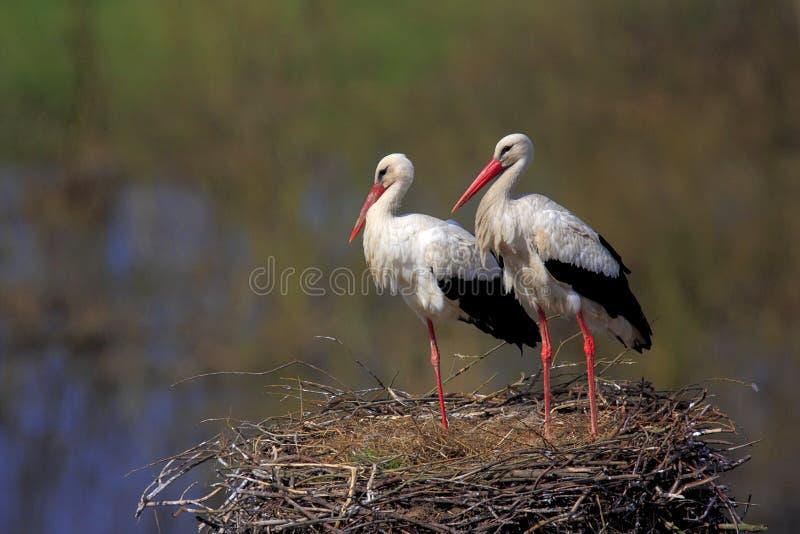 Coppie gli uccelli della cicogna bianca su un nido fotografie stock libere da diritti