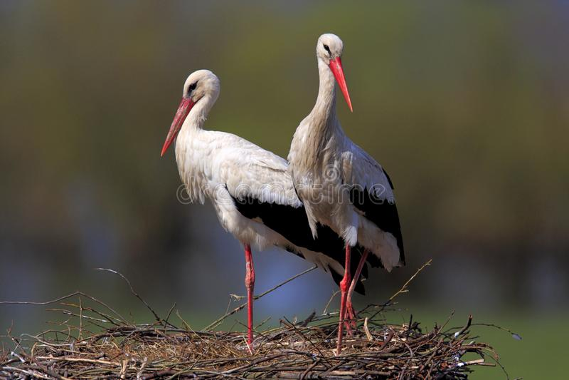 Coppie gli uccelli della cicogna bianca su un nido fotografie stock
