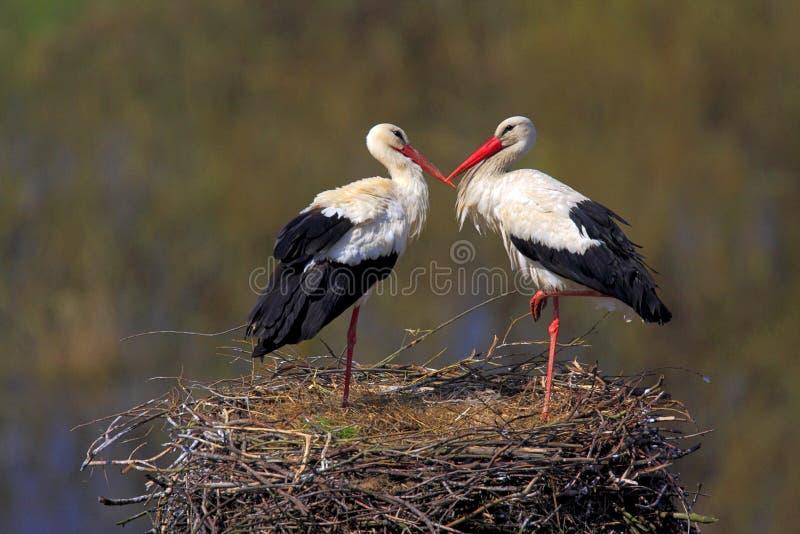 Coppie gli uccelli della cicogna bianca su un nido durante la stagione primaverile immagini stock libere da diritti