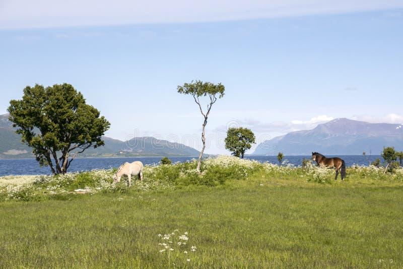 Coppie i cavalli che pascono in Norvegia fotografia stock libera da diritti