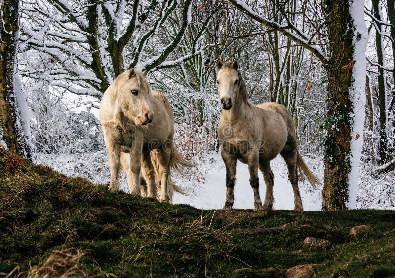 Coppie i cavallini bianchi della montagna di lingua gallese con il fondo carico del terreno boscoso della neve fotografia stock libera da diritti