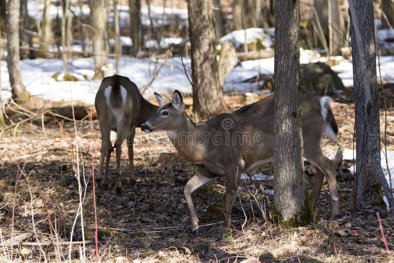 Coppie i cervi nel parco provinciale di Awenda fotografia stock libera da diritti