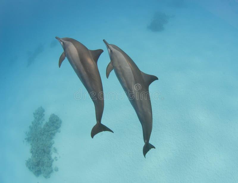 Coppie i delfini selvaggi del filatore immagini stock libere da diritti