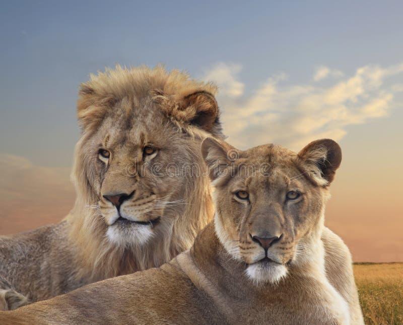 Coppie i giovani leoni africani che riposano al tramonto immagini stock