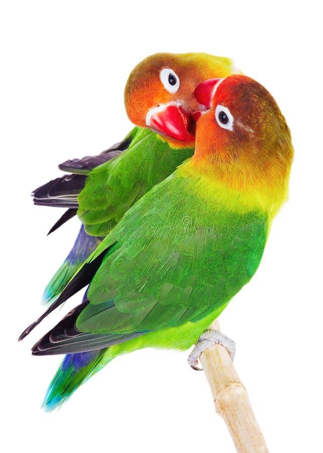 Coppie i lovebirds immagine stock libera da diritti