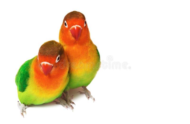 Coppie i lovebirds fotografie stock libere da diritti