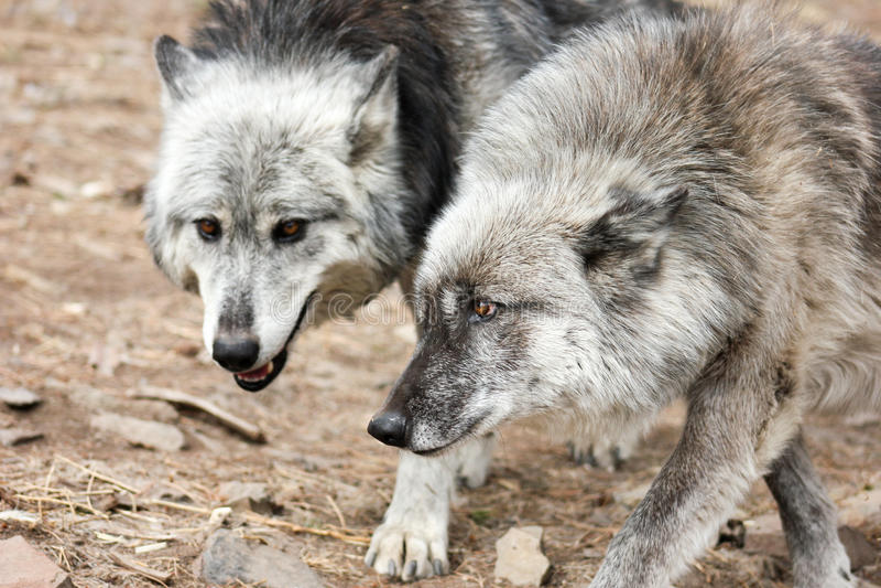 Coppie i lupi grigi immagine stock libera da diritti