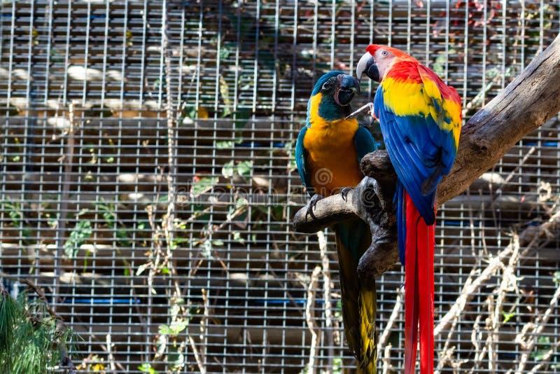 Coppie i pappagalli Ara Macao Chloropterus dell'ara immagini stock libere da diritti