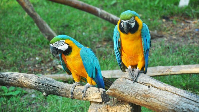 Coppie i pappagalli variopinti delle are in zoo immagine stock