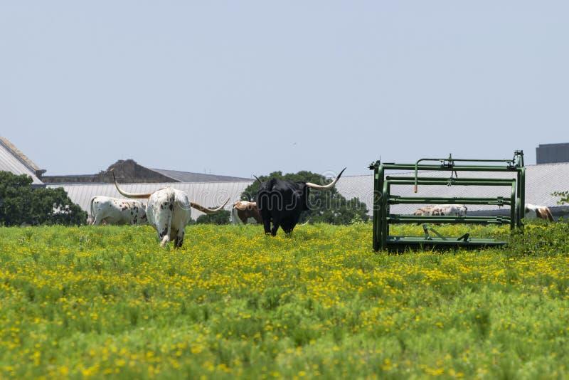 Coppie il bestiame della mucca texana che si allontana nel pascolo fotografia stock libera da diritti