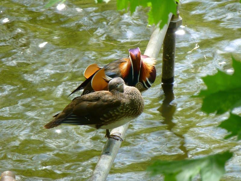 Coppie le anatre di mandarino che si siedono sul tubo del metallo sopra la superficie di acqua fotografie stock libere da diritti