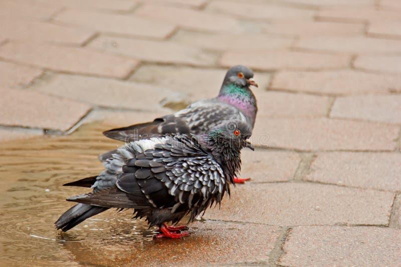 Coppie le colombe grige che nuotano in una pozza sulla via Gli uccelli bagnano in acqua sulle lastre per pavimentazione nella pio fotografia stock