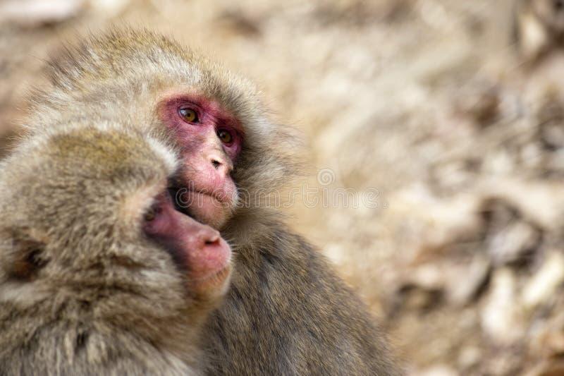 Coppie le piccole scimmie in parco fotografie stock