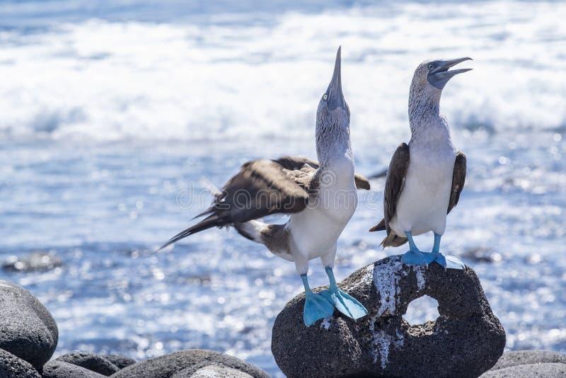 Coppie le teste di legno Blu-footed dal mare 5 fotografie stock libere da diritti