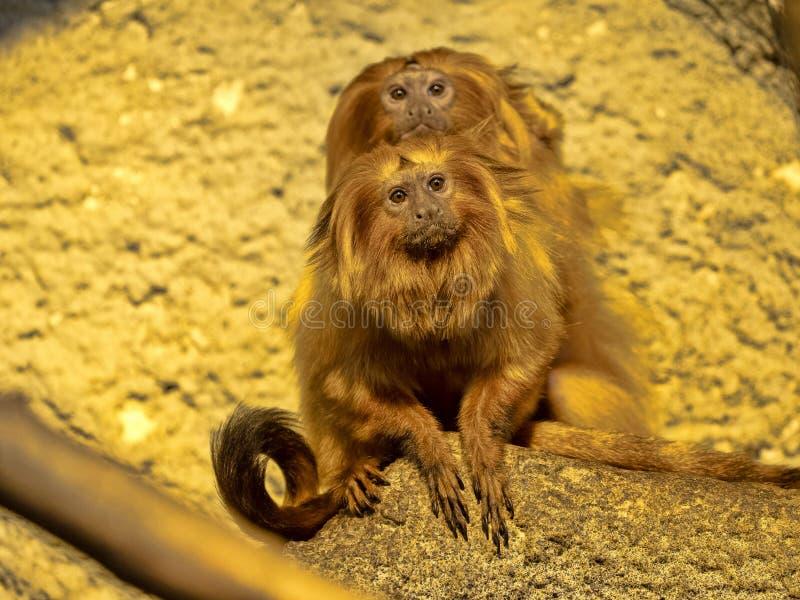 coppie Lion Tamarin dorato, rosalia di Leontopithecus, guardante il fotografo fotografia stock libera da diritti
