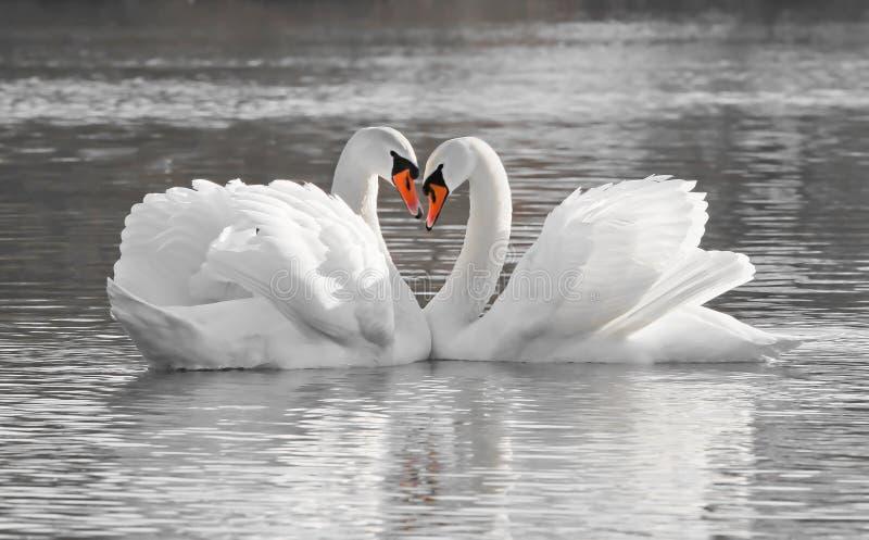 Coppie romantiche del cigno immagine stock