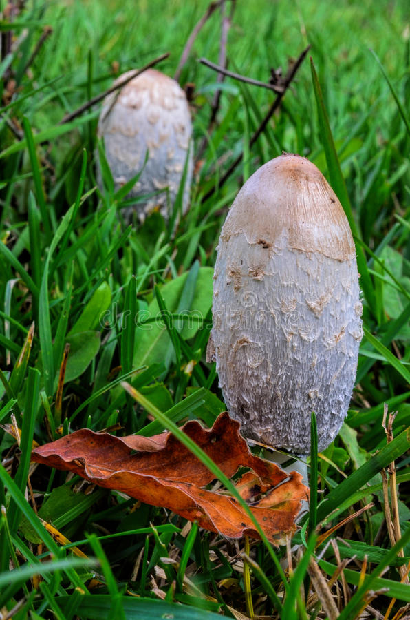 Free Coprinus Comatus Mushrooms Stock Images - 34654814