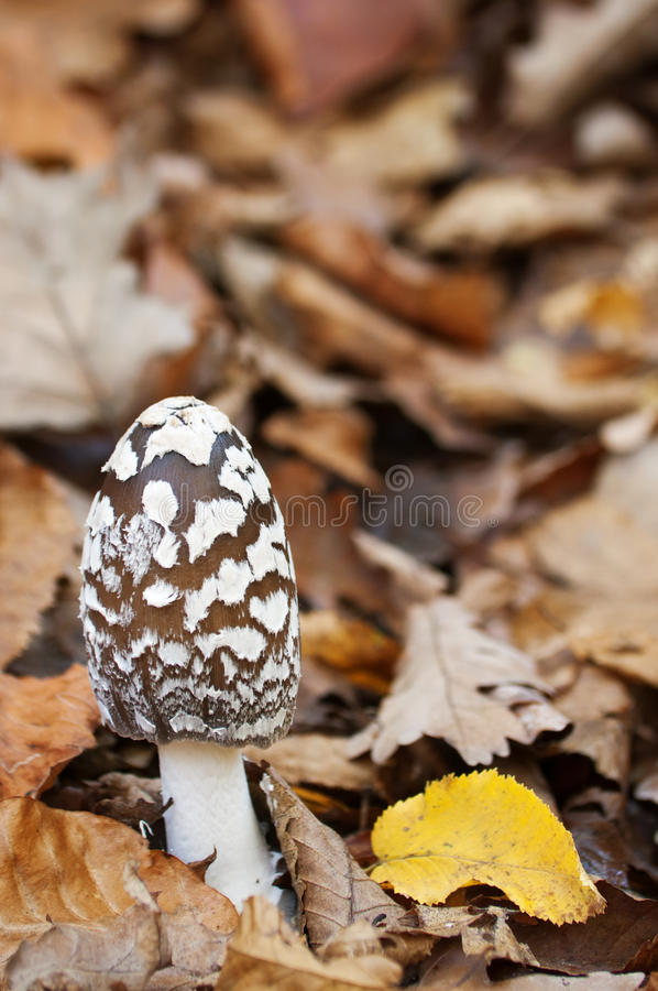 Free Coprinus Picaceus Royalty Free Stock Photography - 22581827