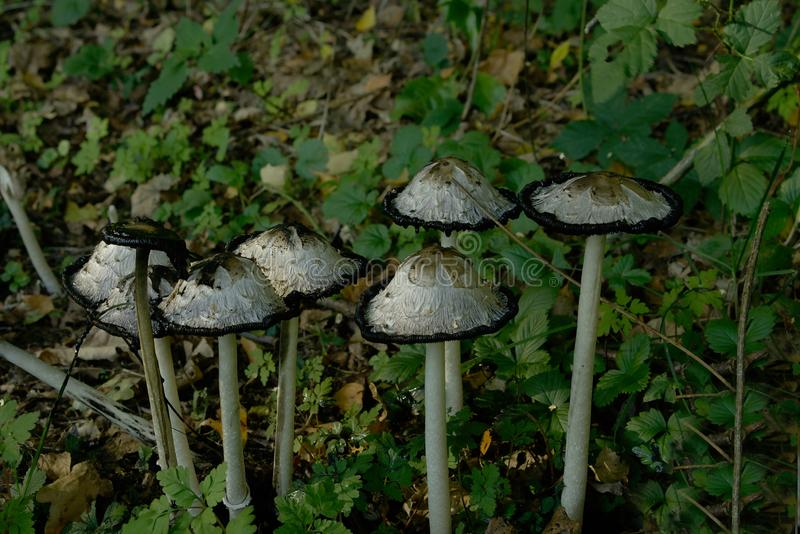 Coprinuscomatus of Shaggy Inkcap royalty-vrije stock foto