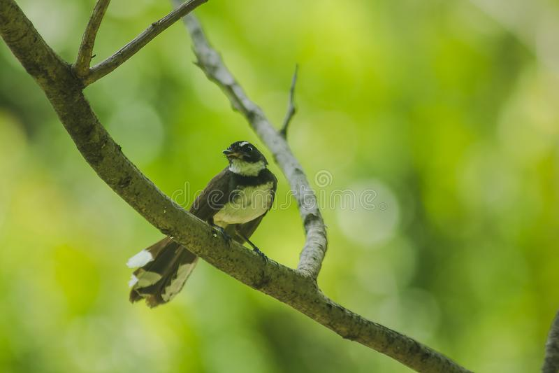 Copsychus saularis is on the tree royalty free stock photos