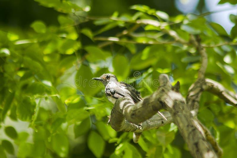 Copsychus saularis is on the tree royalty free stock photos