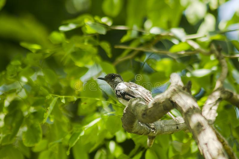 Copsychus saularis is on the tree stock images