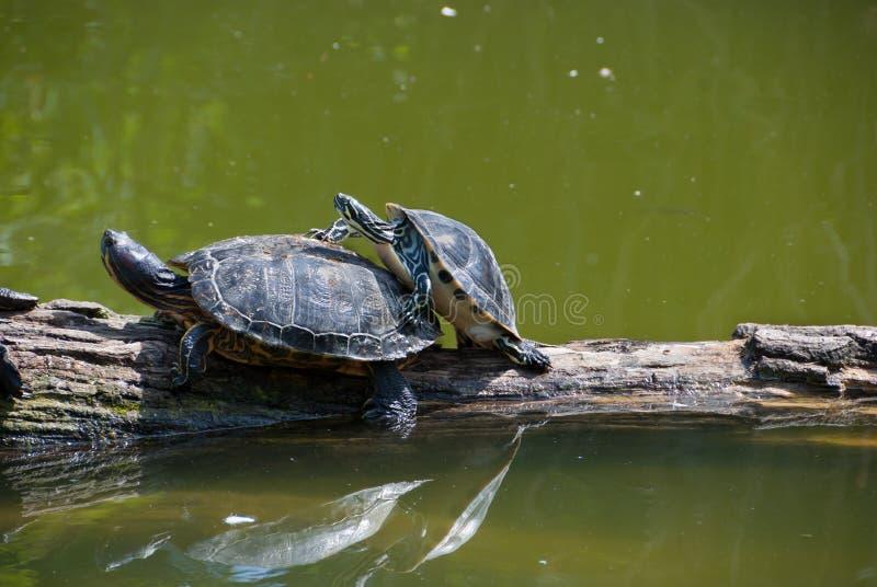 Copulating Schildkröten lizenzfreies stockbild
