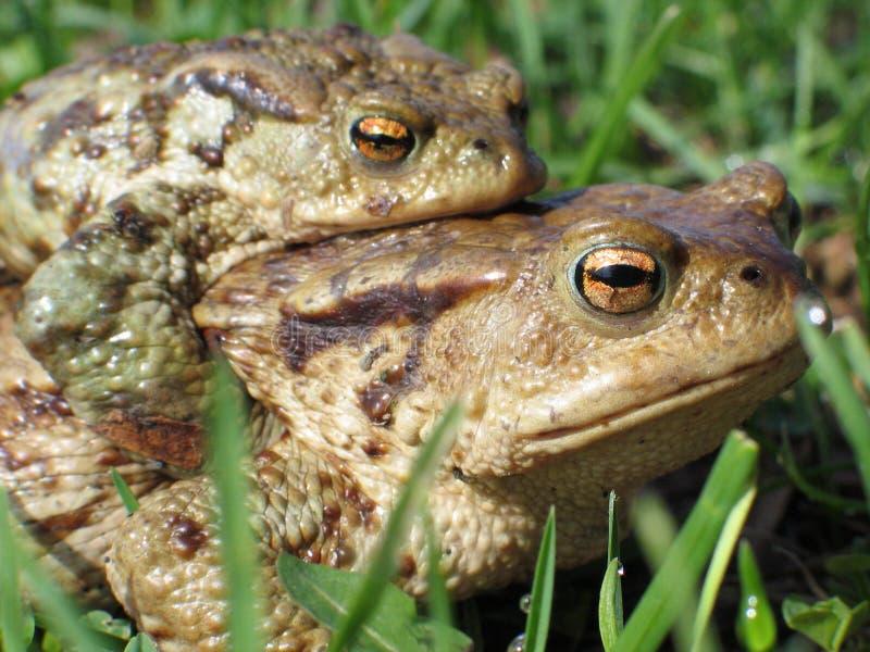 Copulating toads