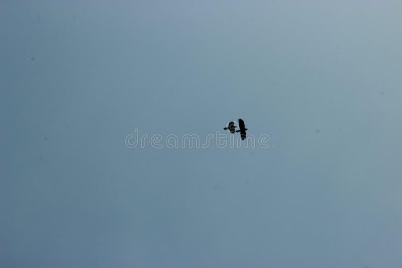 Copule fågel i himlen royaltyfri fotografi