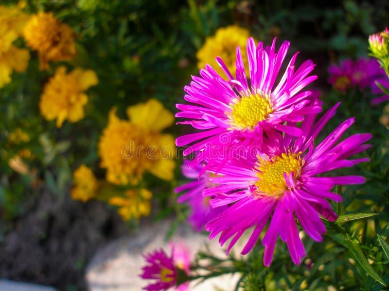Copuple von Michaelmas-Gänseblümchen, New- Yorkasterblumen lizenzfreie stockfotos