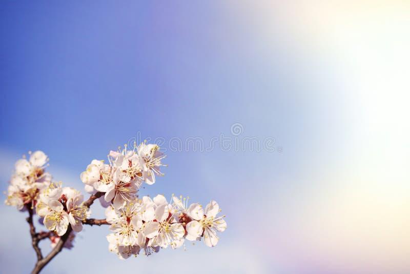 Copyspace春天花在果树杏树开花 库存照片