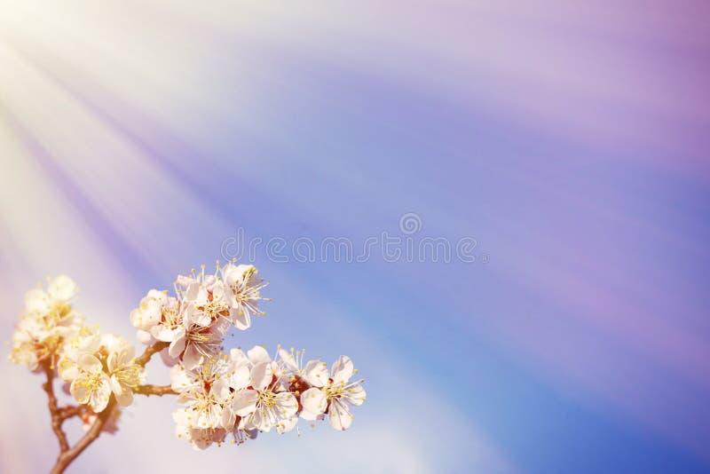 copyspace de bloei van de lentebloemen op de abrikozenboom van fruitbomen royalty-vrije stock afbeelding