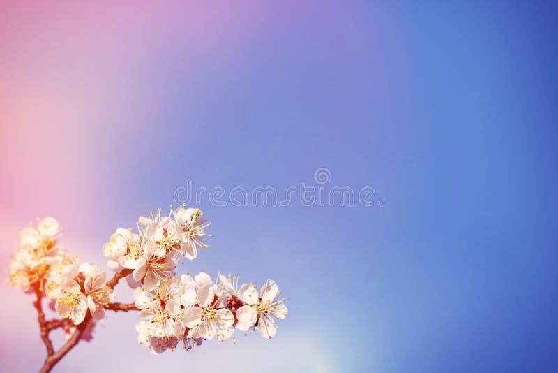 copyspace de bloei van de lentebloemen op de abrikozenboom van fruitbomen stock afbeelding