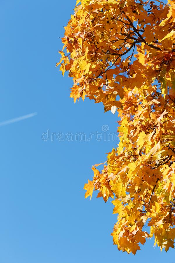 Copyspace do outono Ramo do céu azul e do bordo foto de stock