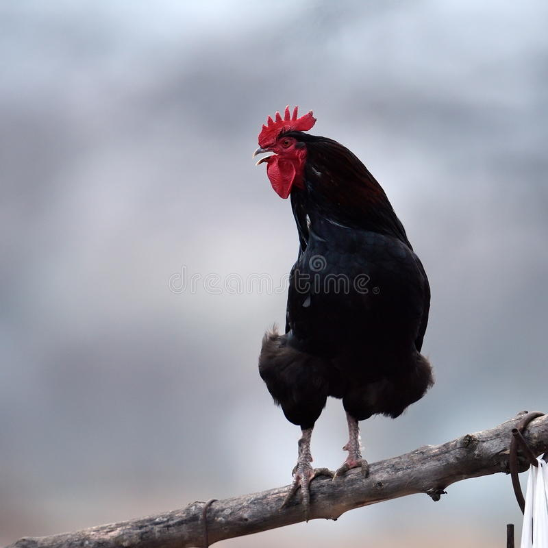 Download Coq photo stock. Image du majestueux, poulet, vert, noir - 56478864