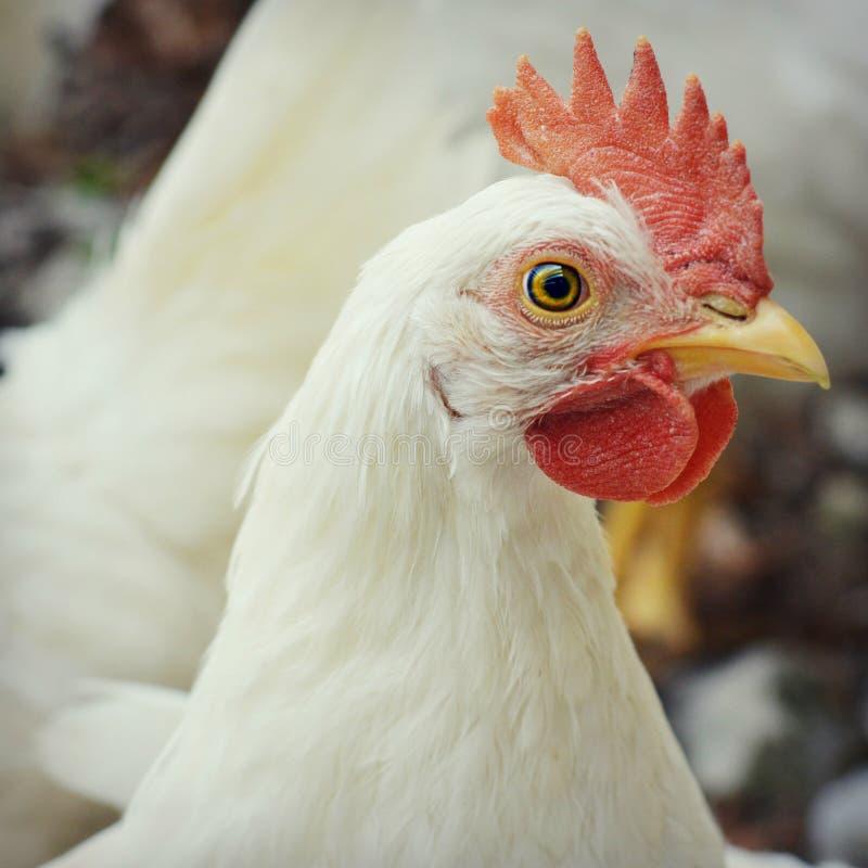 Coq blanc photo stock