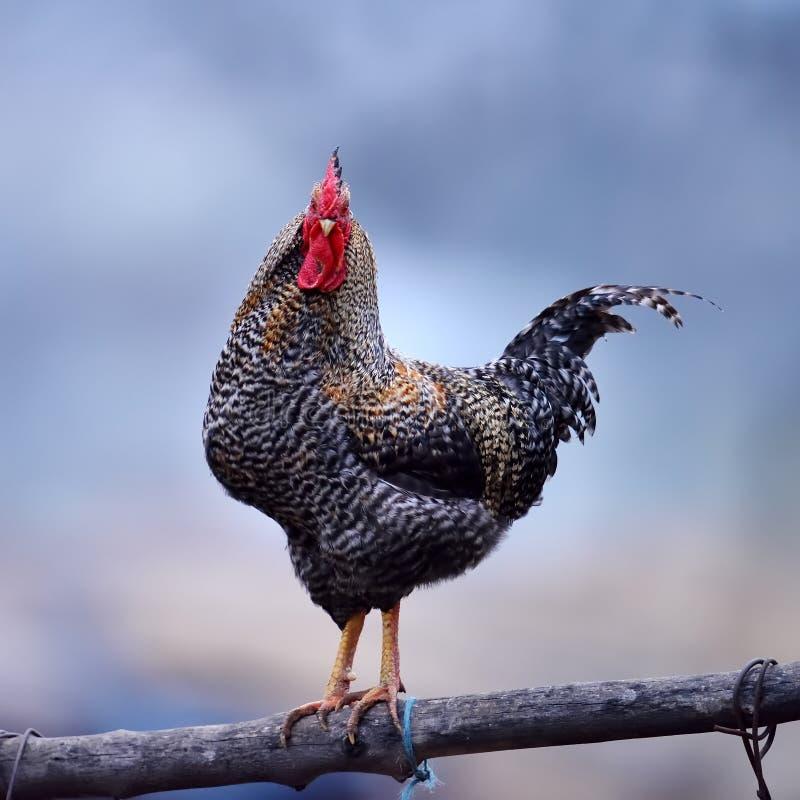Download Coq coloré image stock. Image du oiseau, configuration - 56478471