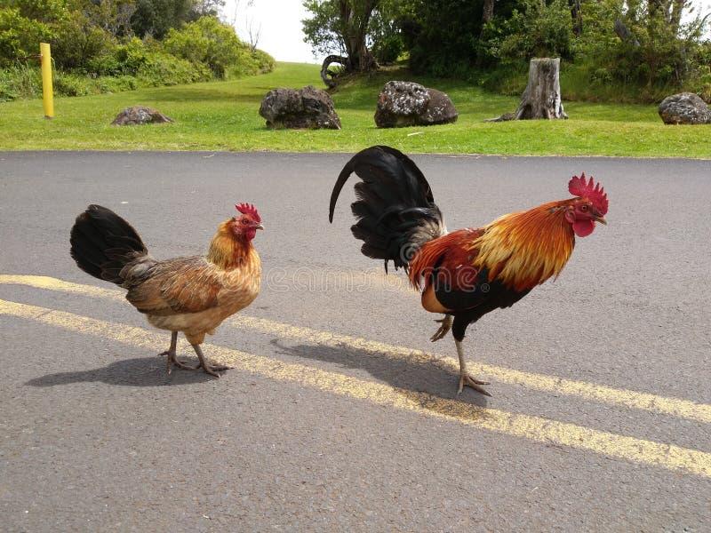 Coq courageux et sa poule image stock
