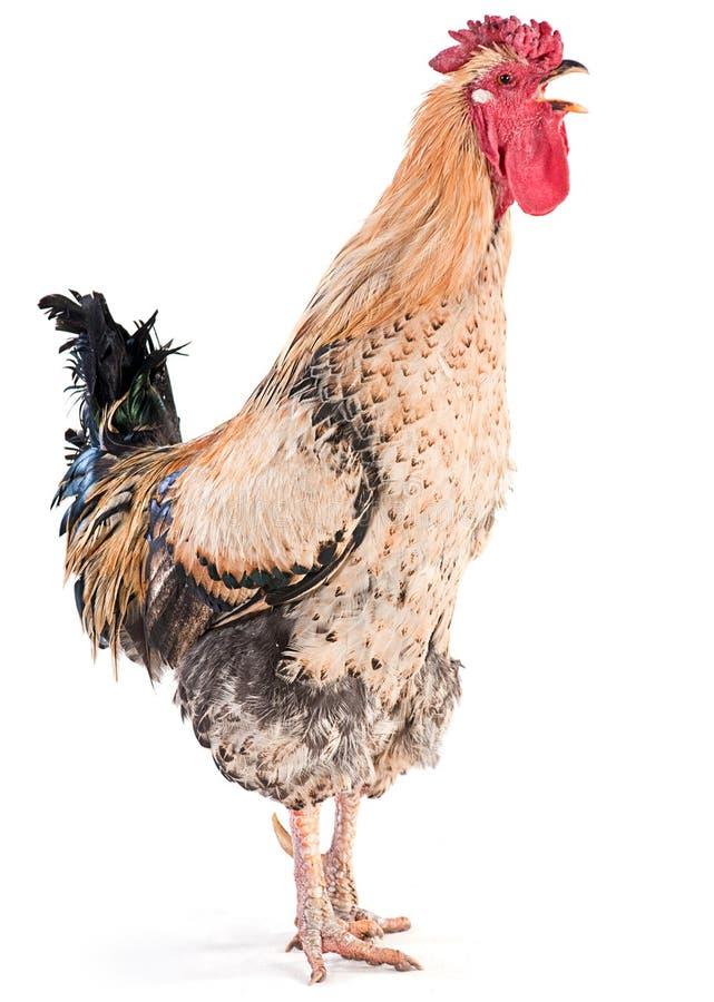 Coq de corneille image libre de droits