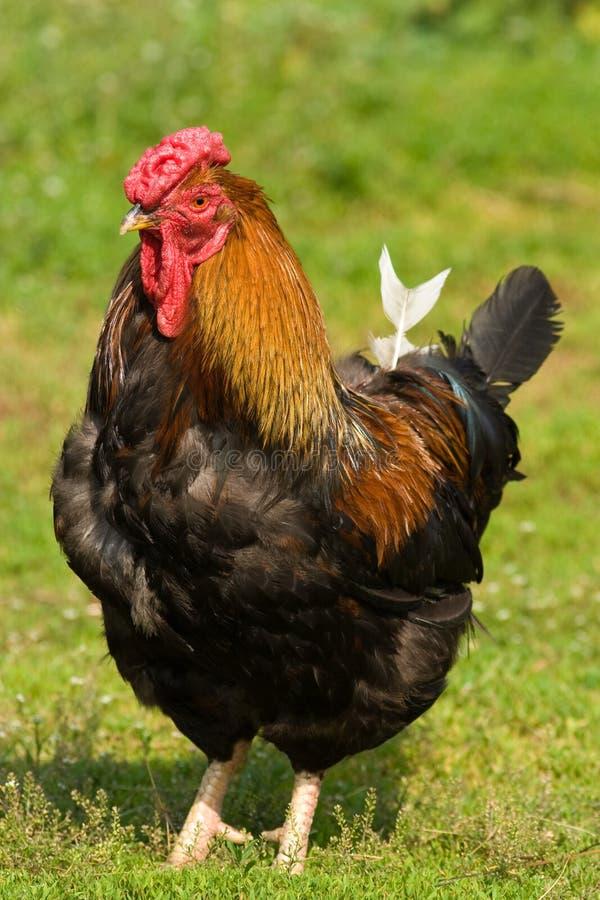 Coq, domesticus de Gallus photographie stock libre de droits