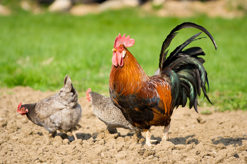 Coq et deux poules photos stock