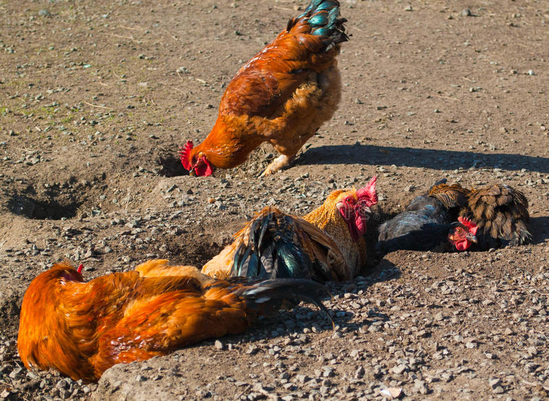 Coq et poules images stock