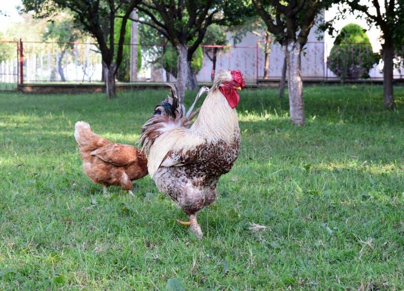 Coq et poulet dans la cour images stock