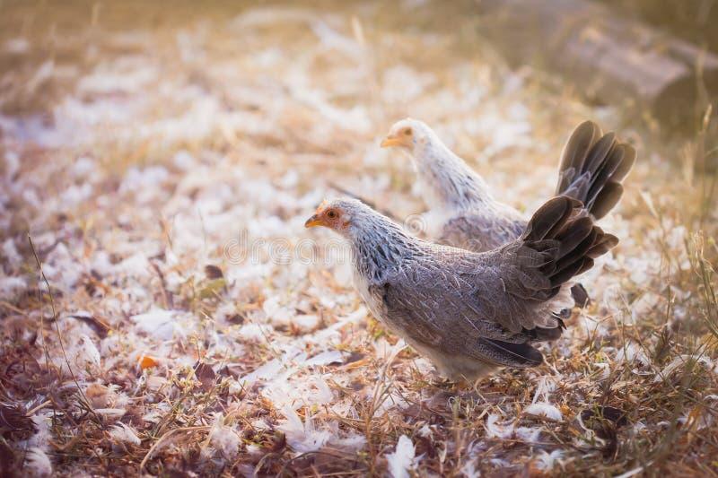 coq nain mignon photo libre de droits