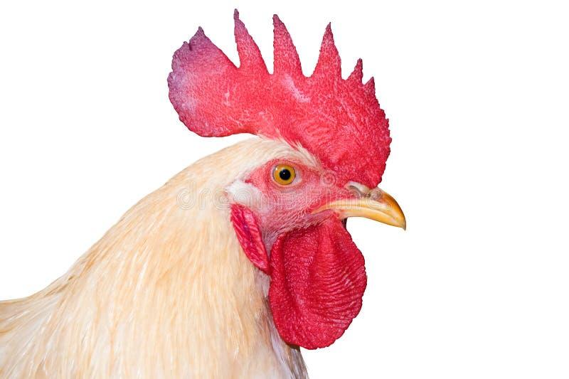 Coq nain principal blanc de poulet, coq d'isolement sur le blanc (découpage) image libre de droits