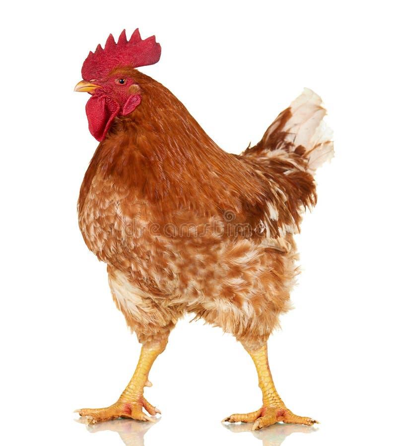 Coq sur le fond blanc, objet d'isolement, poulet vivant, un animal de ferme de plan rapproché photo stock
