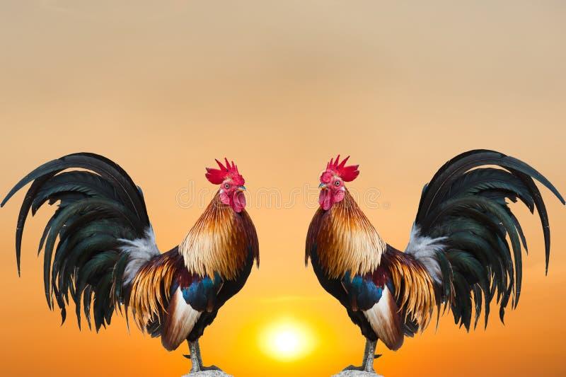 Coqs jumeaux sur le lever de soleil photos stock