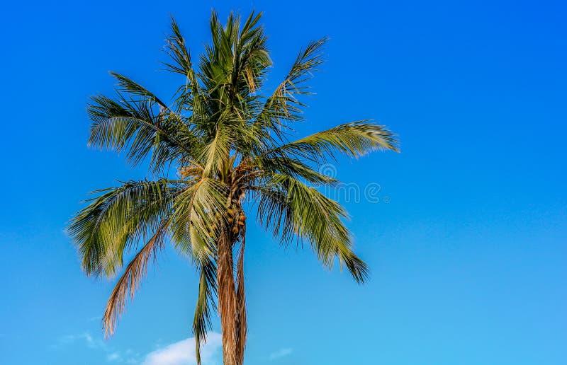 Coqueiro blue aky. Sky blue green tree, amazing stock image