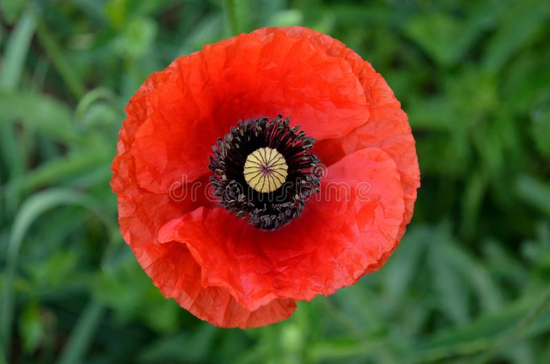 Coquelicot. This is a just blooming coquelicot flower stock photos