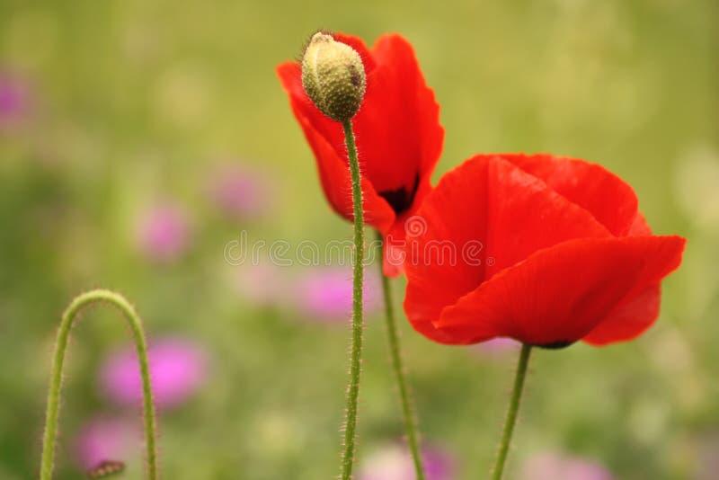 Coquelicot; colorete; fleurs; jardín imágenes de archivo libres de regalías